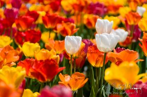 Colorful tulips in full bloom at Copley Square.